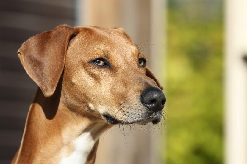 Cabeza del perro Azawakh