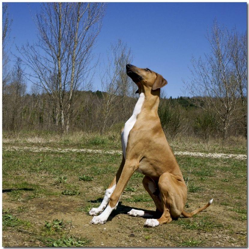 Cachorro de la raza Azawakh sentado
