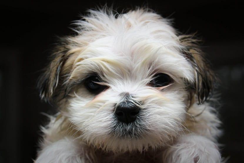 cachorro con problemas de manchas en el lagrimal