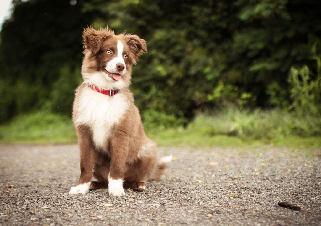 Cachorro de Border Collie sentado