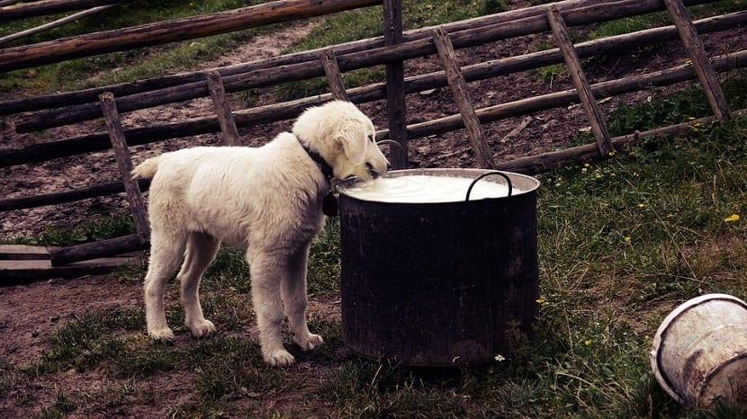los cachorros no pueden tomar leche de vaca al principio, ya que no lo toleran
