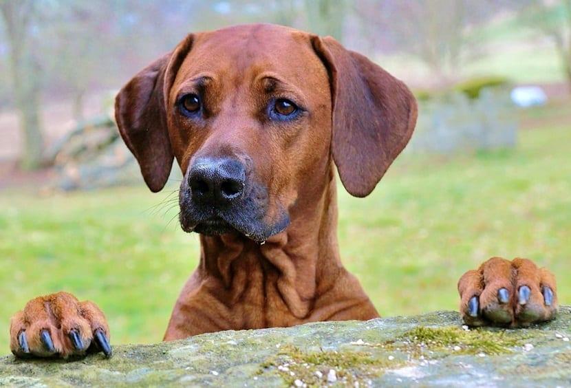 caracter del perro crestado rodesiano