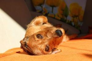 Dachshund tumbado en la cama