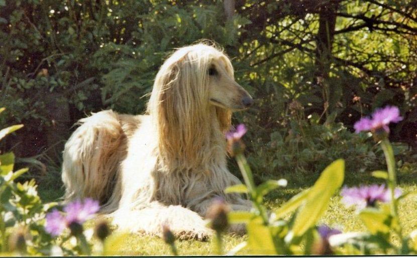 Perro de la raza Galgo afgano