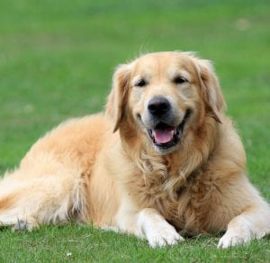Perro adulto de Golden retriever