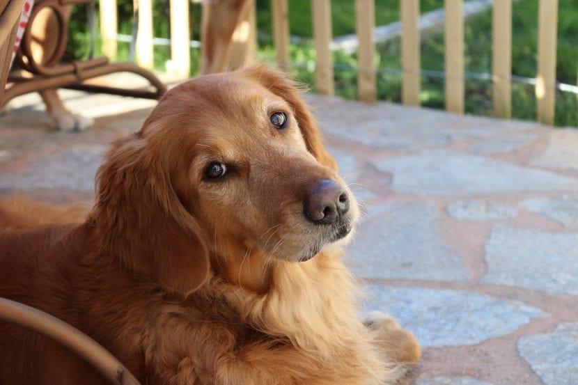 Perro Golden retriever tumbado en el suelo