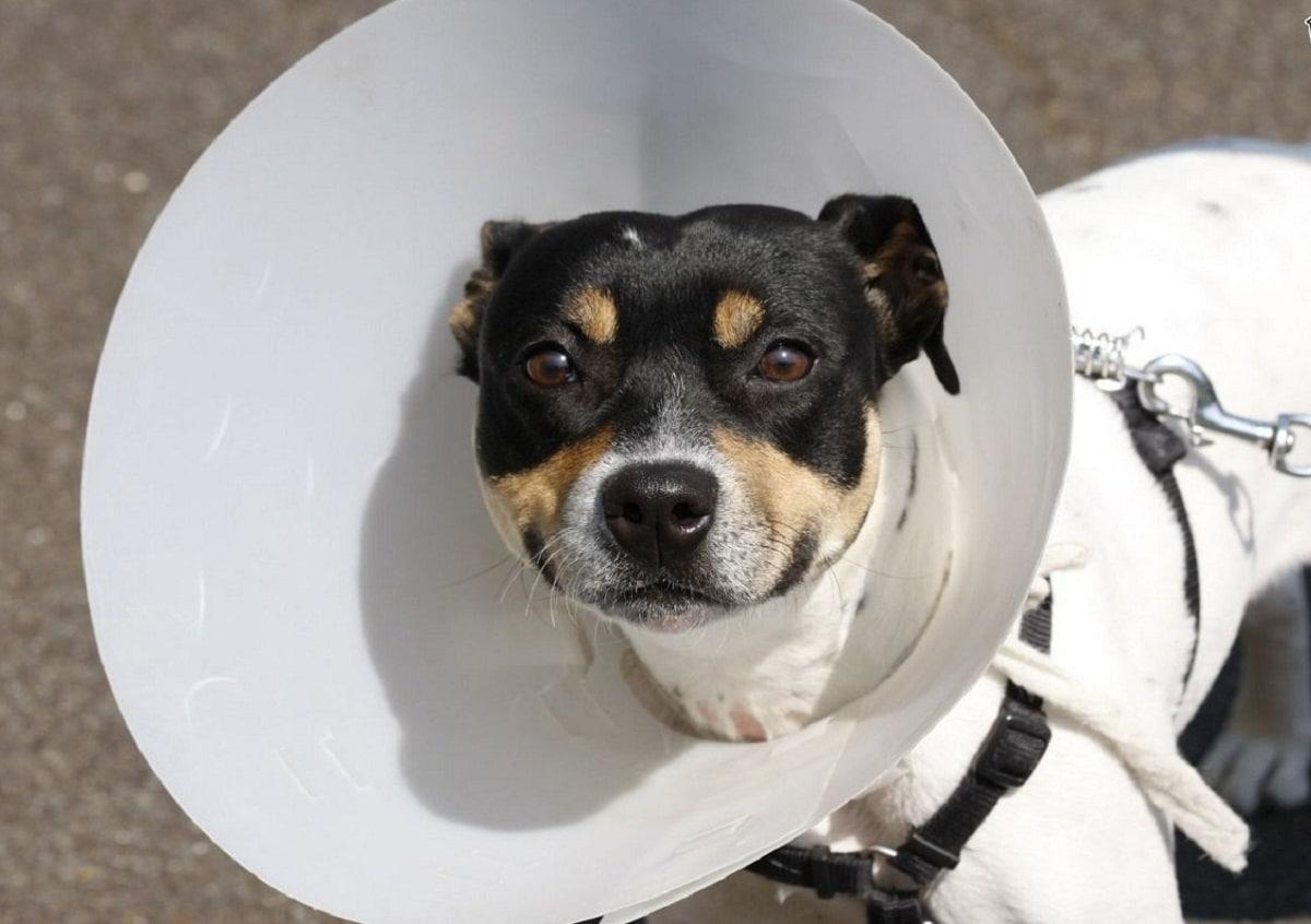 Después de la castración, los perros suelen llevar un collar isabelino