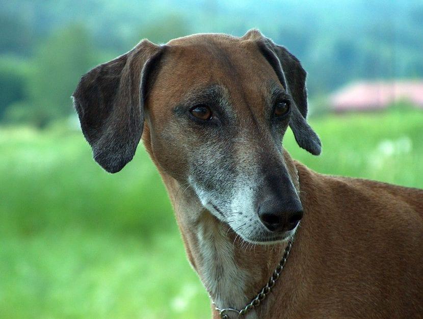 Perro adulto de la raza Azawakh