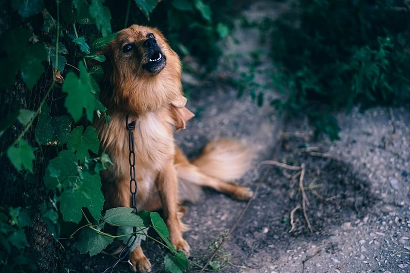 perro aullando por los ruidos
