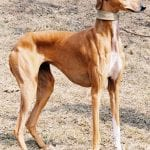 Perro de la raza Azawakh