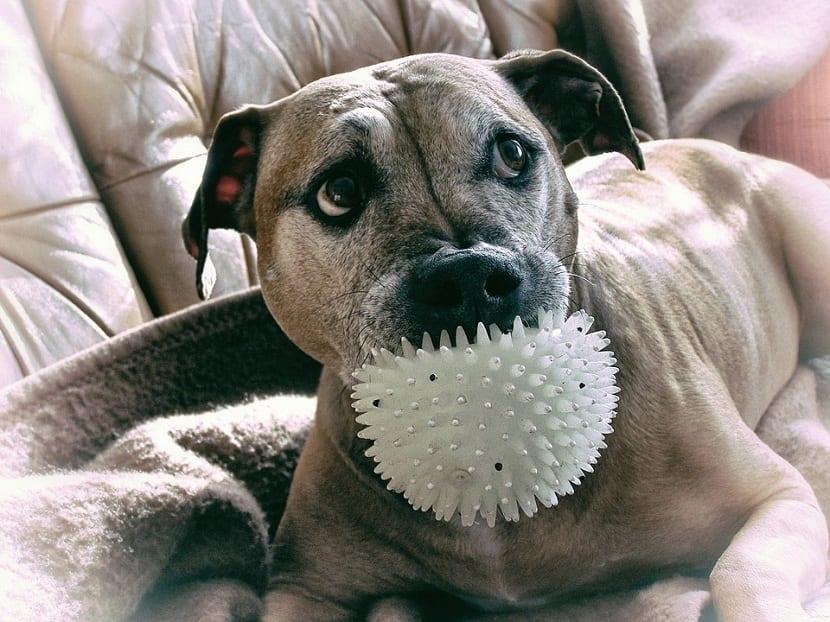 el pitbull y ejercicios con la pelota