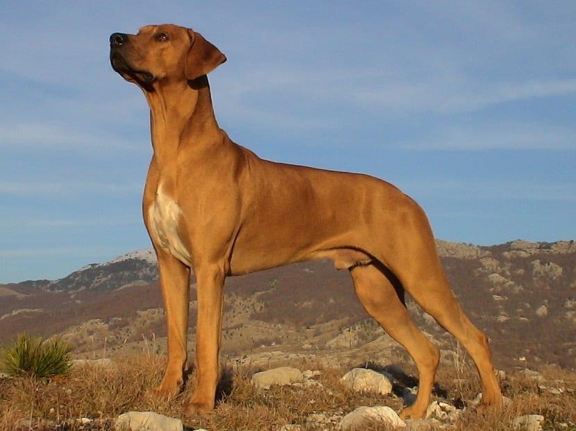 perro crestado rodesiano o Rhodesian ridgeback