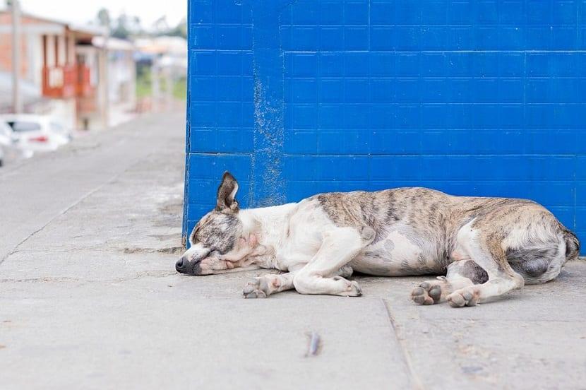 eutanasia en perro