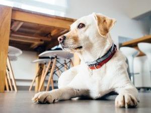 Perro dentro de casa