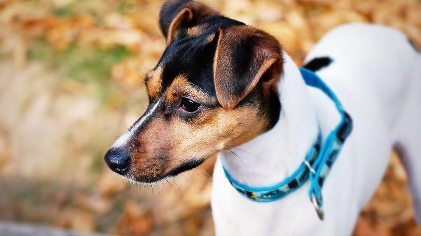 cuidados aza de perros Fox paulistinha o terrier brasileño
