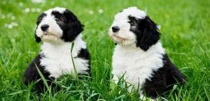Dos cachorros de bobtail.