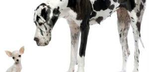 Dogo alemán junto a un chihuahua.