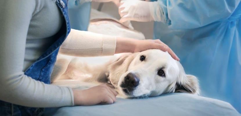 Perro en el veterinario.