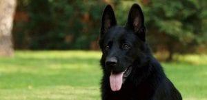 Perro negro en el campo.