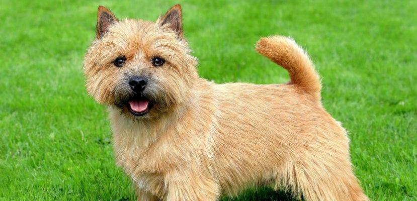 Terrier de Norwich en el campo.