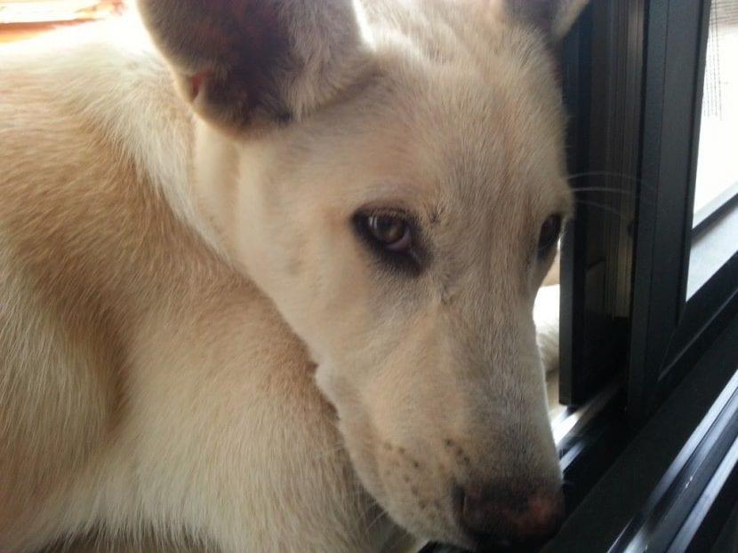 Cachorro de Perro de Canaan tumbado