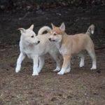Preciosos cachorros de perro del Canaán