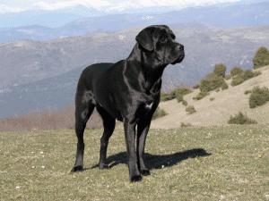 Ejemplar adulto de cane corso o mastín italiano