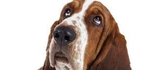 Ojos del perro