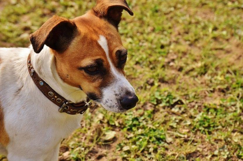 Perro de la raza Jack Russell