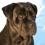 Precioso perro mastín italiano
