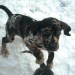 Perrito Catahoula jugando en la nieve