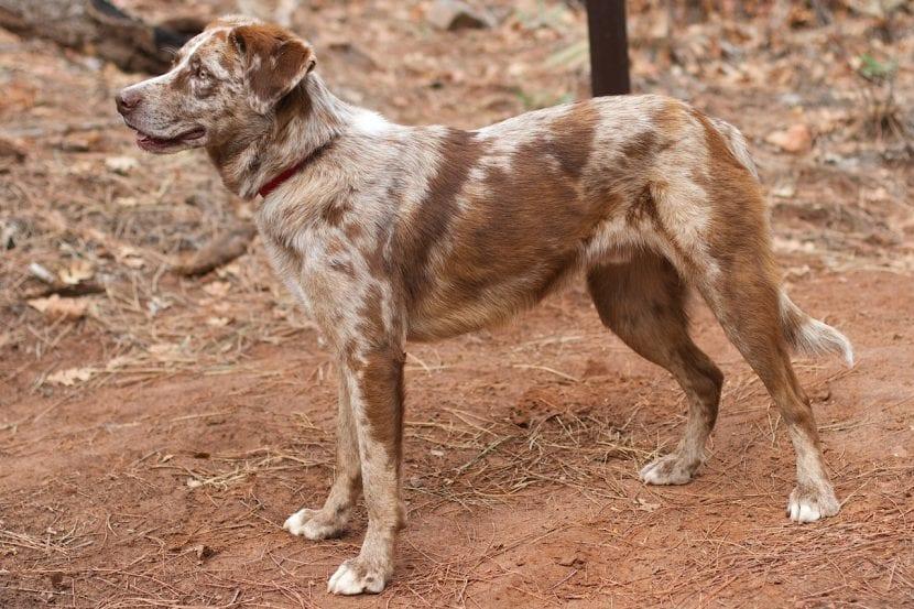 Perro adulto de la raza Catahoula
