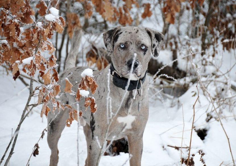 Perro adulto de Catahoula en la nieve