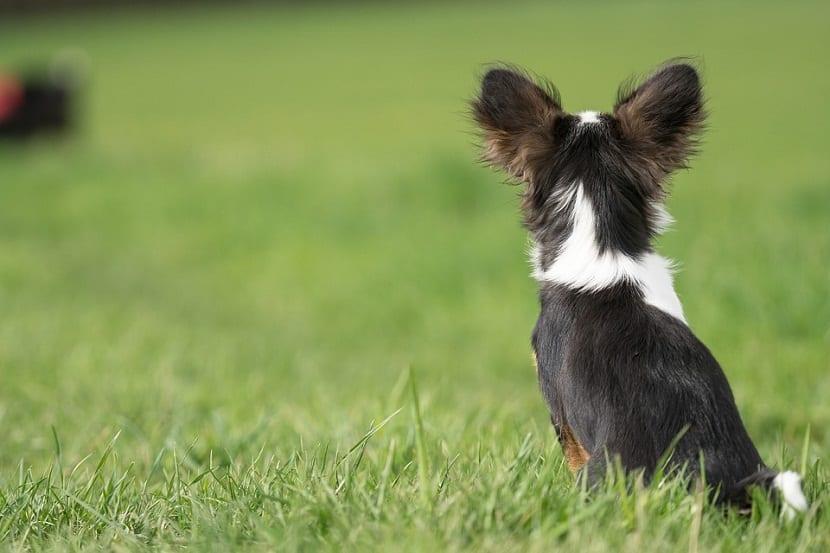 perro con problemas e infeccion de oido