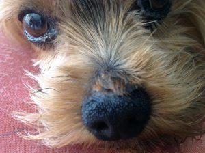 Si tu perro tiene costras, llévalo al veterinario