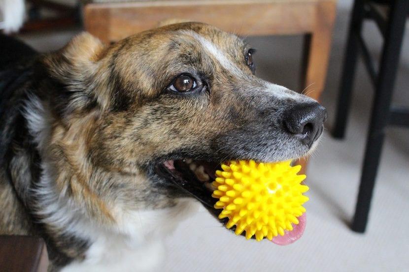 Perro con una pelota