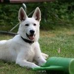 Perro del Canaan de pelo blanco