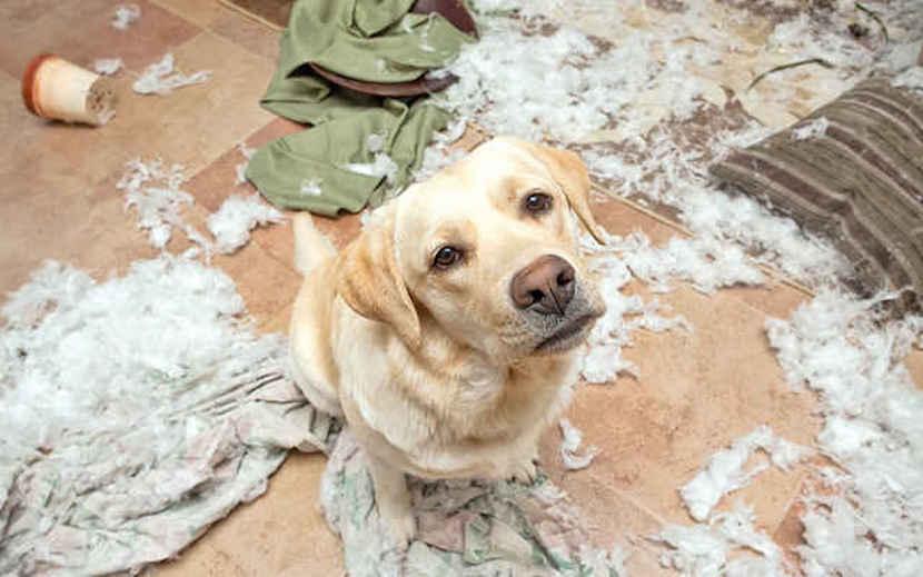 perro destroza sofa