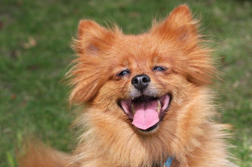 Perro de pelo largo feliz