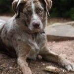 Perro joven de la raza Catahoula