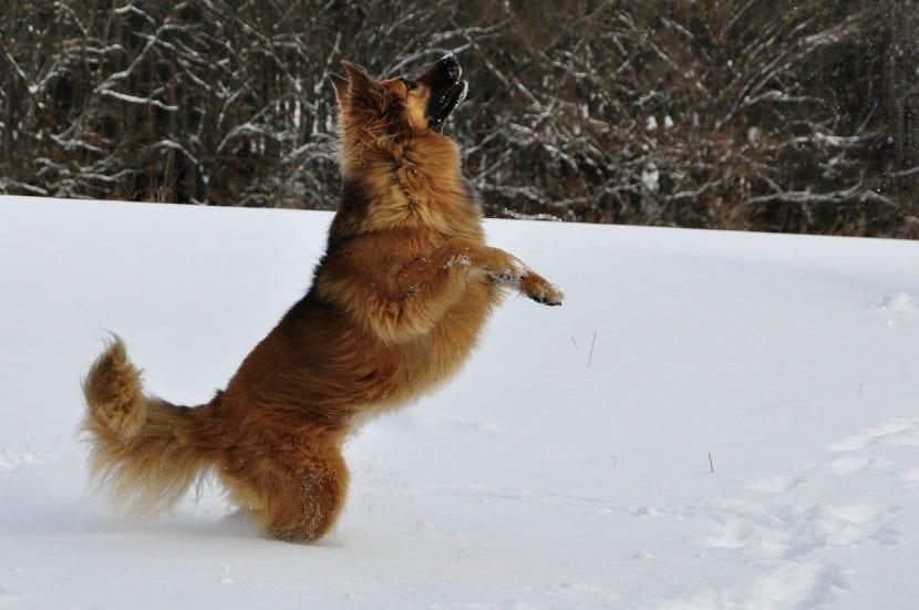 Perro pastor en la nieve
