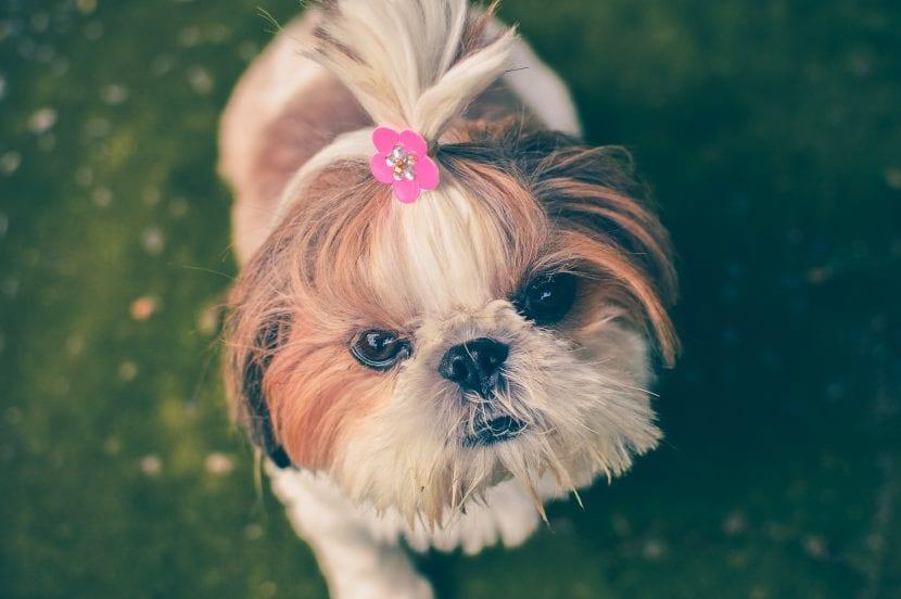 Perro pequeño de pelo largo