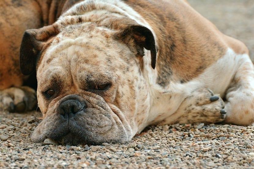 piel de perro que necesita aloe vera