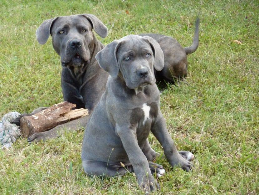Perros de la raza cane corso o mastín italiano