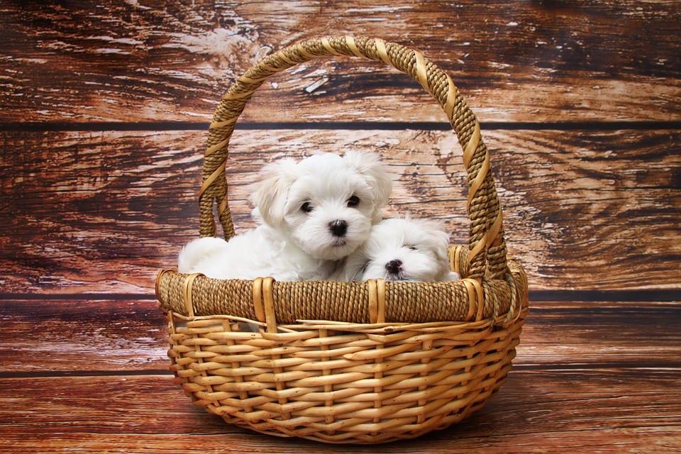 Cómo elegir el cachorro adecuado en la camada