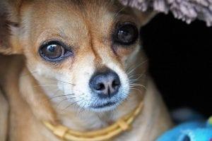 uveitis en perros
