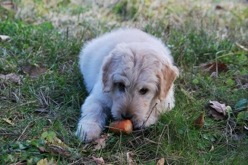 dermatitis atopica canina (DAC)