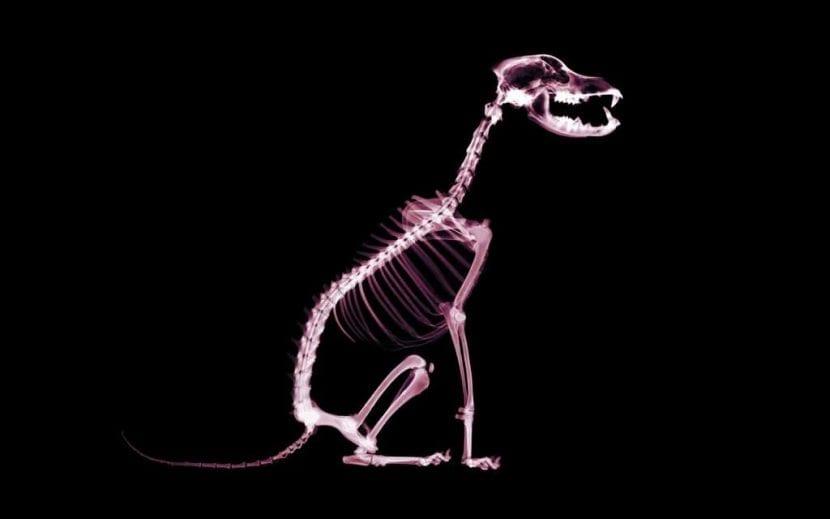 Radiografía de un perro con cauda equina