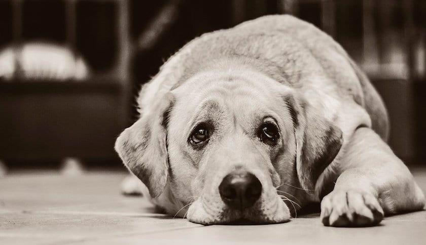 Perro con depresion