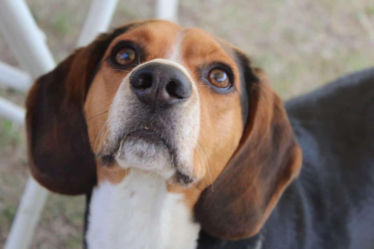 Beagle, un perro ideal para los niños